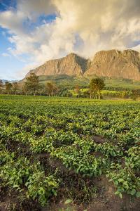 Tea Estate on Mount Mulanje at Sunset, Malawi, Africa by Michael Runkel