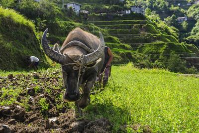 Water Buffalo Plowing Through the Rice Terraces of Banaue, Northern Luzon, Philippines