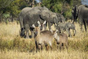 Waterbucks (Kobus Ellipsiprymnus) and African Bush Elephants (Loxodonta Africana) by Michael Runkel