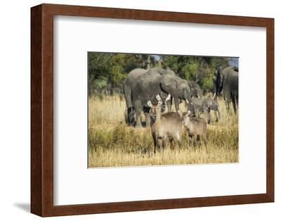 Waterbucks (Kobus Ellipsiprymnus) and African Bush Elephants (Loxodonta Africana)