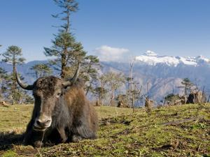 Yak Grazing on Top of the Pele La Mountain Pass with the Himalayas in the Background, Bhutan by Michael Runkel