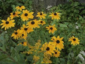 A Close View of Black-Eyed Susans by Michael S. Lewis