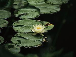 A Delicate Water Lily Flower Floating Near Lily Pads by Michael S^ Lewis