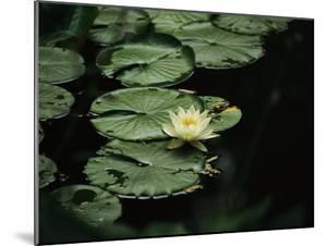 A Delicate Water Lily Flower Floating Near Lily Pads by Michael S. Lewis