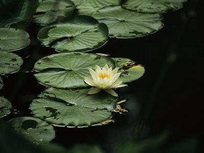 A Delicate Water Lily Flower Floating Near Lily Pads