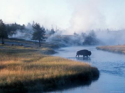 Bison Crosses the Firehole River Flowing Through Geyser Basins, Yellowstone by Michael S^ Lewis