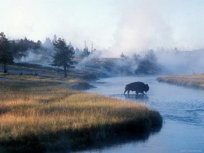 Bison Crosses the Firehole River Flowing Through Geyser Basins, Yellowstone