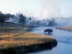 Bison Crosses the Firehole River Flowing Through Geyser Basins, Yellowstone by Michael S. Lewis
