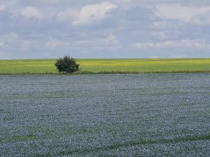 Flax and Canola Fields, Saskatchewan, Canada by Michael S. Lewis