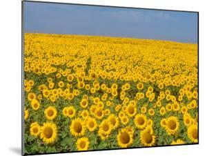 Sunflowers in Full Bloom, Colorado by Michael S. Lewis