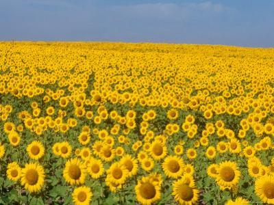Sunflowers in Full Bloom, Colorado by Michael S^ Lewis