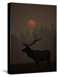 A Bull Elk (Cervus Elaphus) is Silhouetted in the Fading Light at Dusk by Michael S. Quinton