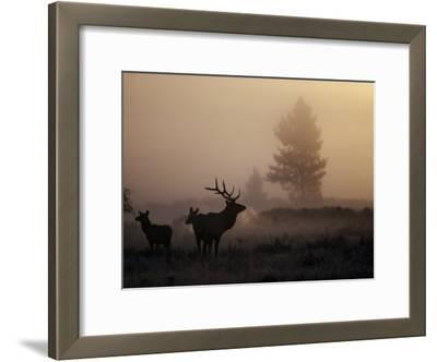A Bull Elk Stands with Two Females in the Twilight Haze
