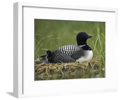 A Common Loon Sits on Her Marshy Nest