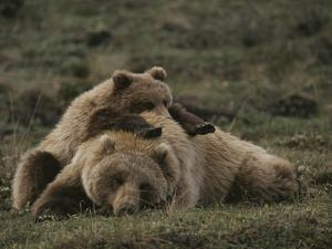 A Grizzly Mother and Her Cub Lounge Together in a Field by Michael S^ Quinton