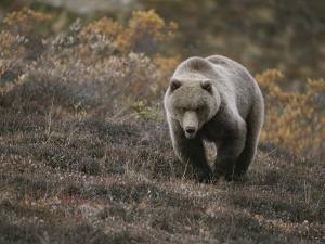 A Grizzly Walks Toward the Camera with a Serious and Threatening Look by Michael S. Quinton