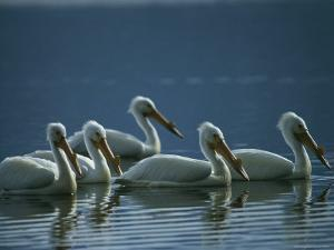 A Group of American White Pelicans Floats in the Water by Michael S. Quinton