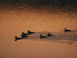 A Group of Common Loons Swims Across a Lake Early in the Morning by Michael S^ Quinton