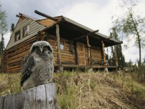 A Hawk Owl Sits on a Stump Near a Log Cabin by Michael S. Quinton
