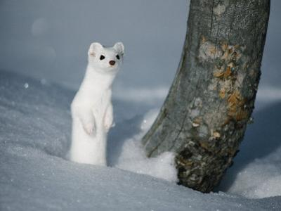 A Long-Tailed Weasel in Winter-White Camouflage Stands in the Snow by Michael S^ Quinton