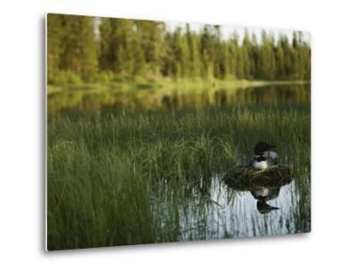 A Loon in Breeding Colors Incubates its Eggs in its Nest