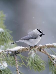 A Mountain Chickadee Weathers a Winter Snowstorm in a Pinetree by Michael S^ Quinton