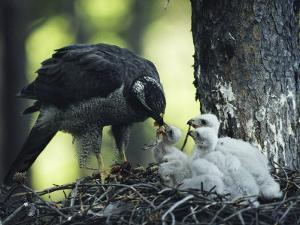 A Northern Goshawk Feeds its Scrawny White Chicks by Michael S^ Quinton