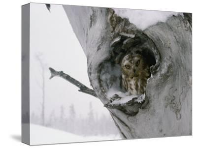 A Saw-Whet Owl Peers out of its Nest in a Tree