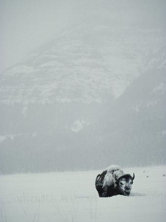 A Snow-Covered American Bison Stands on a Snowy Plain