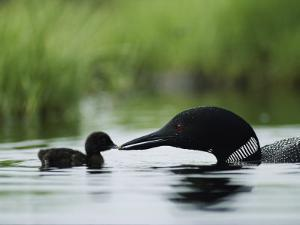 A Tiny Loon Chick Being Fed by its Parent by Michael S^ Quinton
