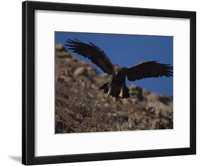 Adult Golden Eagle (Aquia Chrysaetos) , Alaska