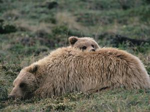 Alaskan Brown Bear or Grizzly Bear (Ursus Arctos) Mother and Cub Resting, Denali, Alaska by Michael S. Quinton