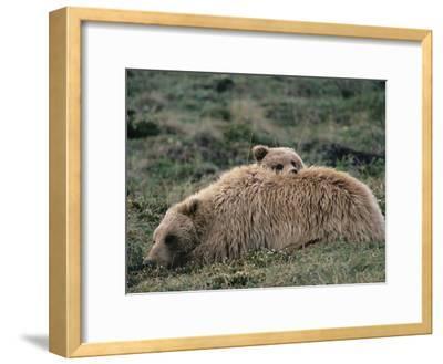 Alaskan Brown Bear or Grizzly Bear (Ursus Arctos) Mother and Cub Resting, Denali, Alaska