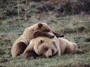 Alaskan Brown Bear or Grizzly Bear (Ursus Arctos) Mother and Cub Sleeping, Denali, Alaska by Michael S. Quinton