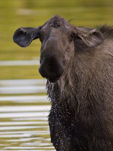Alaskan Moose: Alces Alces by Michael S. Quinton