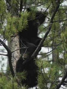 American Black Bear Cubs Climb a Lodgepole Pine by Michael S^ Quinton