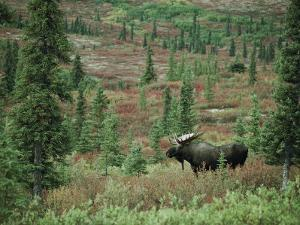 An Alaskan Moose Forages in a Field by Michael S^ Quinton