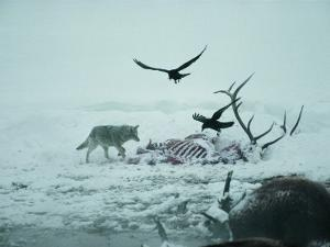 An Elk Carcass Becomes a Snowy Buffet for a Coyote and Two Ravens by Michael S^ Quinton