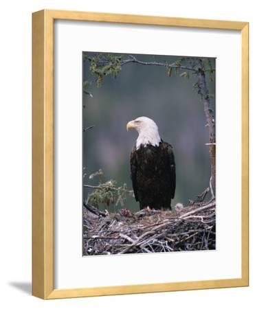 Bald Eagle (Haliaeetus Leucocephalus) on Nest with Chick and Fresh Kill, Alaska