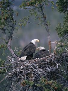 Bald Eagle (Haliaeetus Leucocephalus) Pair on Nest, Alaska by Michael S. Quinton