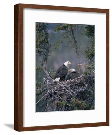 Bald Eagle (Haliaeetus Leucocephalus) Pair on Nest, Alaska
