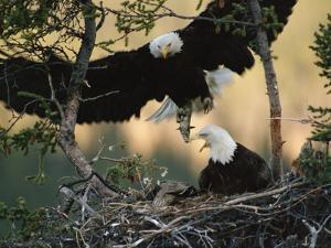 Bald Eagle (Haliaeetus Leucocephalus) Returning to Nest with Food for Chicks, Alaska by Michael S^ Quinton