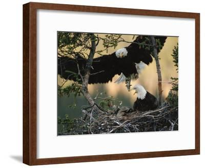 Bald Eagle (Haliaeetus Leucocephalus) Returning to Nest with Food for Chicks, Alaska