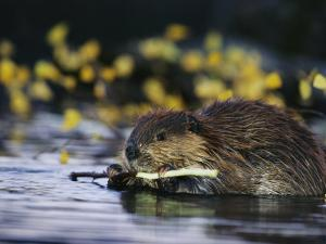 Beaver Eating the Bark Off of a Small Twig by Michael S^ Quinton