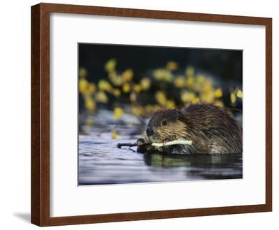 Beaver Eating the Bark Off of a Small Twig