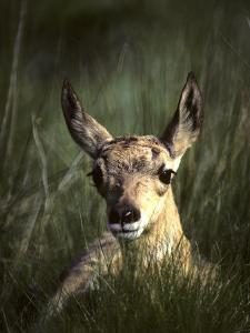 Big Black Eyes of a Pronghorn Fawn are Quick to Spot Trouble by Michael S. Quinton