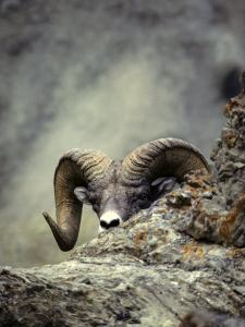 Bighorn Sheep Sneaks a Peak at the Photographer by Michael S. Quinton