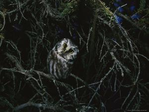 Boreal Owl Perched in an Evergreen Tree by Michael S. Quinton