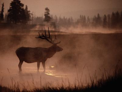 Bull Elk in the Morning in the Smoky Atmosphere of Yellowstone National Park Fires of 1988