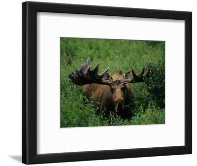 Bull Moose in Velvet, Alaska